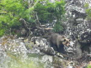 fotografia de oso en Asturias
