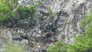 foto de oso cantábrico