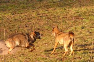 foto lobos en Aller